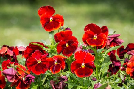 Red pansies in garden