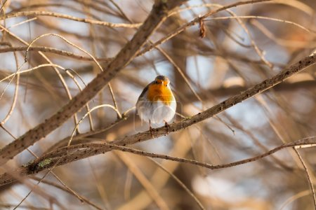 Photo for Cute European robin (Erithacus rubecula)  is on the tree - Royalty Free Image