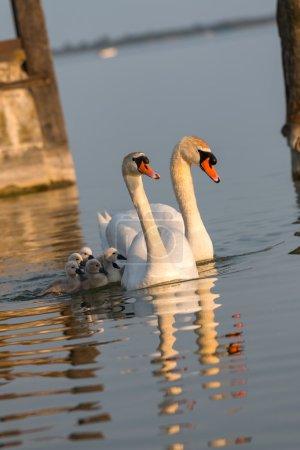 Swan family