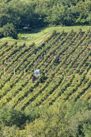 Foto de Hermosas hileras de uvas, cosecha - Imagen libre de derechos