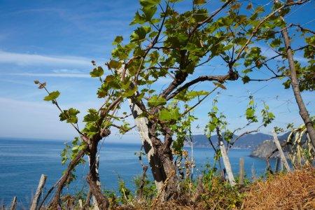 Vineyard against beautiful sea landscape in Italy...