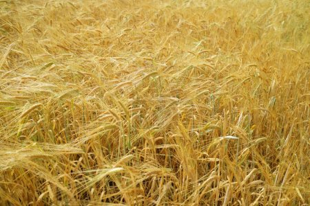 Photo for Golden wheat field close up - Royalty Free Image
