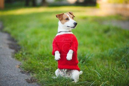 Photo pour Chien dans la rue. Automne, Jack Russell Terrier - image libre de droit
