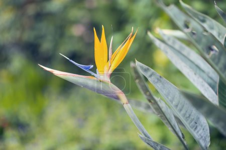 Photo for Exotic Bird of Paradise Flower blooming in garden. - Royalty Free Image