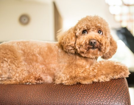 Red poodle lying prone on top of back of sofa