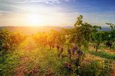 Ripe grapes at sunset