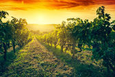 Vineyard in Tuscany at sunset