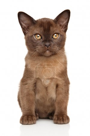 Chocolate Burmese kitten
