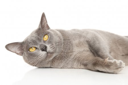 Burmese cat lies on a white background