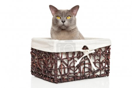 Burmese cat in basket on white