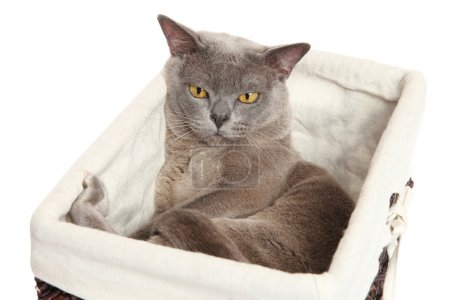 Burmese cat on white background