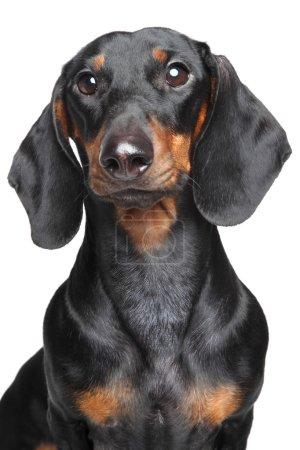 Miniature dachshund