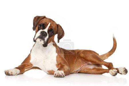 Photo pour Boxer chien couché sur fond blanc - image libre de droit