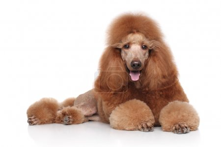 Red Poodle on white background