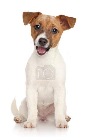 Photo pour Chiot terrier Jack Russell heureux sur fond blanc - image libre de droit