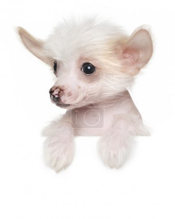 Chinese crested puppy above banner