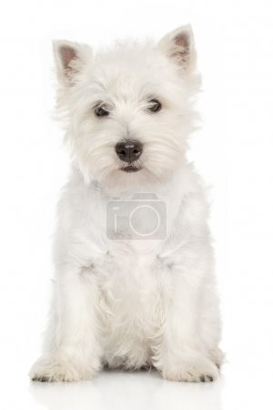 Porträt des West Highland White Terrier