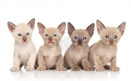 Oriental kittens against white background