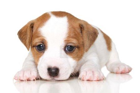 Photo pour Chiot terrier de Jack Russell se trouvant en face de fond blanc - image libre de droit
