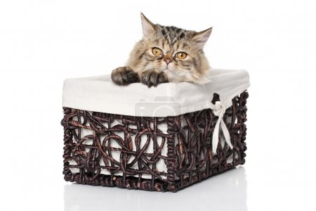 Persian kitten sits in basket on a white background
