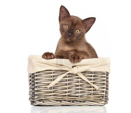 Burmese kitten in basket