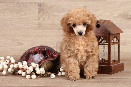 Portrait of Poodle puppy