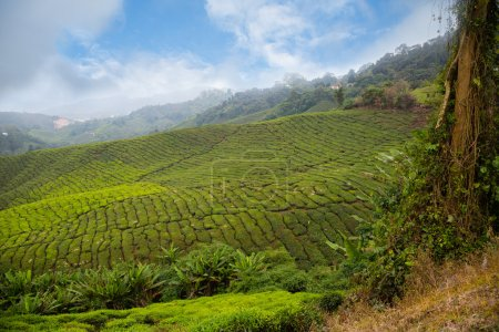 Tea plantation in of Cameron Highlands in Malaysia