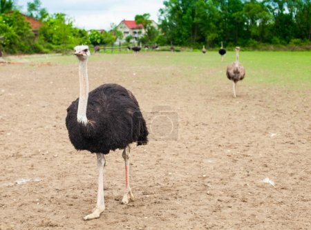 Ostriches and summer nature
