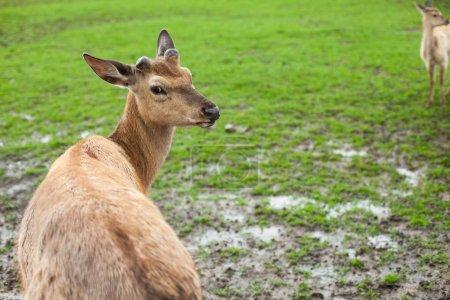 Deer on the meadow
