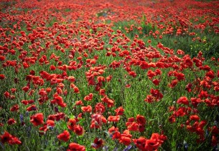 Poppy field flowers. Shallow DOF