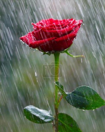 Photo pour Rose rouge sous la pluie - image libre de droit