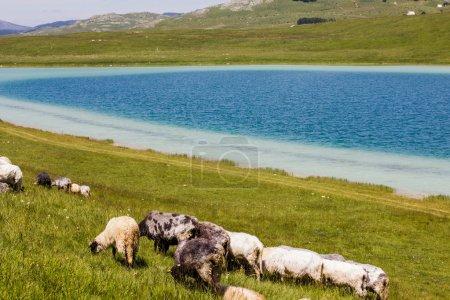 Sheep Grazing on Green Pasture