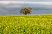 Olive tree over spring blooming field