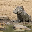 Lone warthog playing in wet mud to cool off...