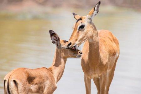 Photo pour Doe Impala caresse son agneau nouveau-né dans l'environnement dangereux - image libre de droit
