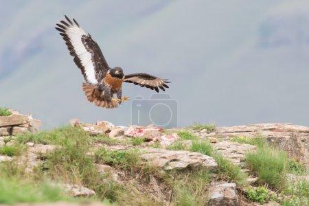 Photo pour Buse chacal atterrissant sur une montagne rocheuse par vent fort - image libre de droit