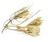 Suchého javoru semena