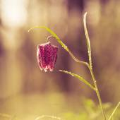 Wild Chess Flower on a Meadow