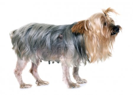 Old yorkshire terrier with tumour