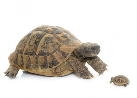 Hermanns Tortoise and baby turtle
