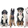 Group of dogs  in front of white background...