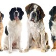 Group of dogs of white background...