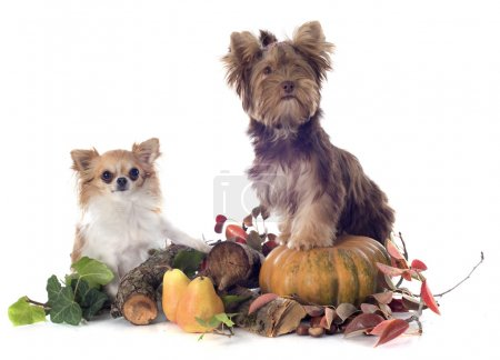 Chocolate yorkshire terrier and chihuahua