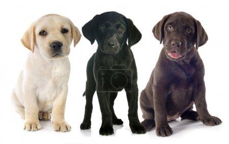 Puppies labrador retriever