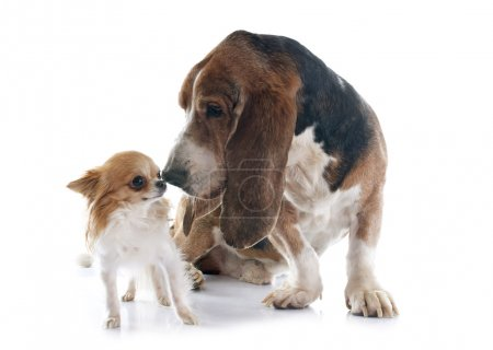 Basset hound and chihuahua in front of white backg...