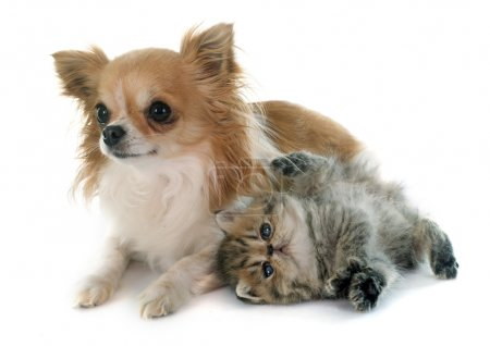 kitten exotic shorthair and chihuahua