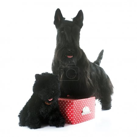 scottish terrier and toy