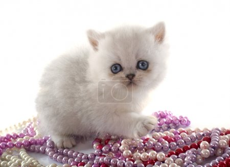 kitten exotic shorthair