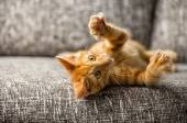 Kleine Katze spielen