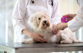 Maltese dog with broken paw in vet infirmary